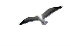 Vol de mouette sur le fond blanc. Image stock