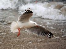 Vol de mouette sur une plage photo stock