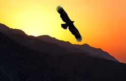 Vol de nipalensis d'Eagle Aquila de steppe le long d'arête de montagne Image libre de droits