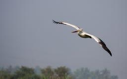 Vol de pélican Photo libre de droits