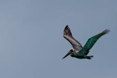 Vol de pélican au-dessus de la mer Images libres de droits