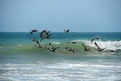 Vol de pélican dans la formation dans Mancora, Pérou Photo libre de droits