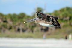 Vol de pélican de Brown au-dessus de la plage, Côte du Golfe de la Floride Images stock