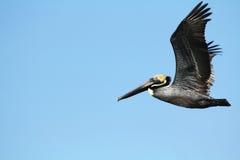 Vol de pélican de Brown dans un ciel bleu au-dessus de la Floride Photographie stock libre de droits