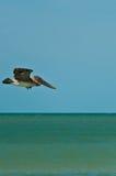 Vol de pélican de Brown sur un bord de la mer tropical Photos libres de droits