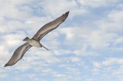 Vol de pélican en ciel Photos libres de droits
