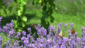 Vol de papillon au-dessus de la fleur de lavande banque de vidéos