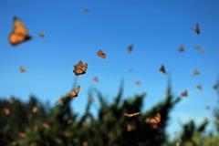 Vol de papillon de monarque Image libre de droits