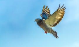 Vol de pigeon Photographie stock