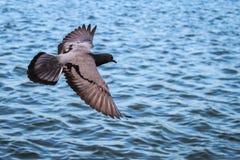 Vol de pigeon au-dessus de l'eau, avec le chemin de coupure photo stock