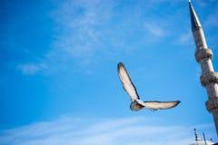 Vol de pigeon en air Image libre de droits