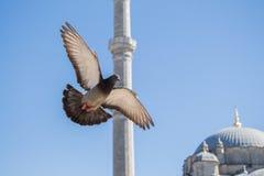 Vol de pigeon en air Photographie stock