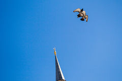 Vol de pigeon en air Photo libre de droits