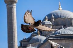 Vol de pigeon en air Photos libres de droits