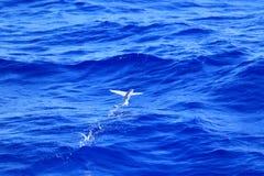 Vol de poissons de vol sur la mer Image libre de droits
