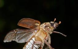 Vol de scarabée de Brown image libre de droits