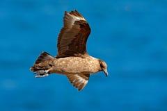 Vol de stercoraire Stercoraire de Brown, Catharacta Antarctique, vol d'oiseau d'eau au-dessus de la mer , égalisant la lumière, l Images libres de droits
