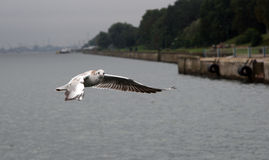 Vol de sterne au-dessus de l'eau Images libres de droits