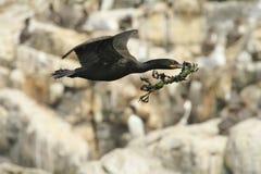 Vol de tapis à longs poils avec le matériel de nid photos stock