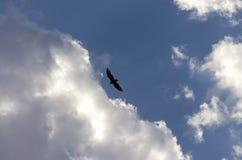 Vol de vautour Image stock