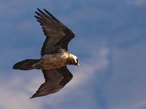 Vol de vautour barbu à travers le temps système tout en recherchant la proie Photographie stock libre de droits