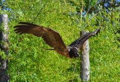 Vol de vautour barbu Image libre de droits