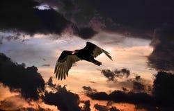 Vol de vautour de Turquie dans un ciel onimous au coucher du soleil Photographie stock libre de droits