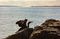 vol Double-cr?t? de cormoran photo stock