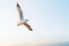 Vol doux de mouette de foyer sur le ciel Photos libres de droits