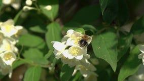 Vol du bourdon au-dessus des fleurs de jasmin, mouvement lent clips vidéos
