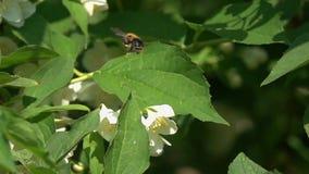 Vol du bourdon au-dessus des fleurs de jasmin, mouvement lent banque de vidéos