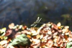 Vol en gros plan de libellule au-dessus du lac en automne images libres de droits