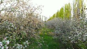 Vol entre les branches des arbres de floraison dans le champ de pommiers, tir de bourdon banque de vidéos
