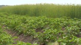Vol gai de papillon au-dessus d'un gisement de pomme de terre avec de hauts buissons en été dans le ralenti banque de vidéos