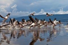 Vol grand de pélicans blancs Image libre de droits