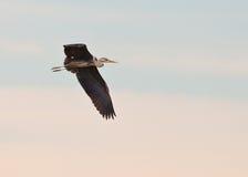 Vol gris de héron Image libre de droits