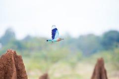 Vol indien de rouleau entre les monticules de termite Photo stock