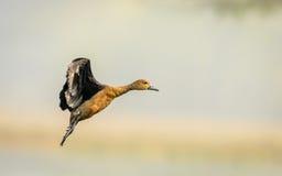 Vol Lesser Whistling Ducks image libre de droits