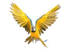 Vol lumineux de perroquet d'ara photographie stock libre de droits