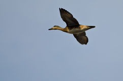 Vol masculin de canard chipeau dans un ciel bleu Photos stock
