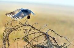 vol Noir-épaulé de cerf-volant avec la souris Photos stock