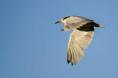 Vol Noir-couronné de Nuit-héron dans un ciel bleu Photo libre de droits