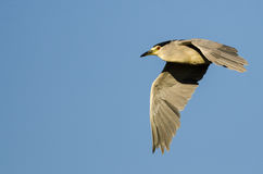 Vol Noir-couronné de Nuit-héron dans un ciel bleu Image libre de droits