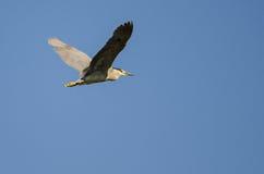 Vol Noir-couronné solitaire de héron de nuit dans un ciel bleu Photos libres de droits