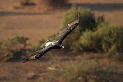 Vol noir d'aigle Photo libre de droits