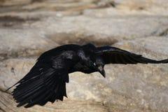 Vol noir de Crowe au-dessus des roches image libre de droits