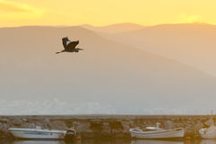 Vol noir de héron contre le coucher du soleil et les bateaux de pêche au marécage de Nafplio en Grèce Photographie stock