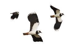 Vol noir et blanc d'oiseau d'isolement sur le fond blanc images libres de droits