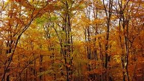 Vol par la forêt d'automne banque de vidéos