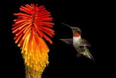 Vol plané de colibri dans l'entre le ciel et la terre dans le jardin sur le fond noir Photos libres de droits